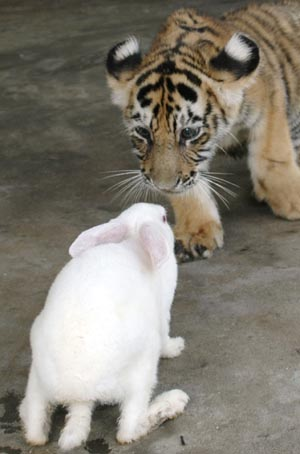 The Rabbit and the Tiger